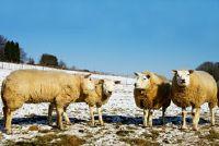 Schafskälte - hoe lang het duurt