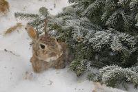Houd konijnen buiten in de winter - dus hen te beschermen
