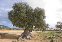 Onderhoud voor een olijfboom