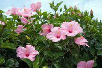 Hibiscus - vermijd droge bladeren
