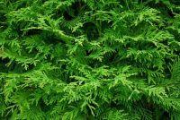 Smaragdthujen - zodat u de planten goed te onderhouden
