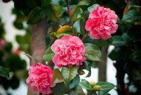 Camellia - zodat u uw planten overwinteren