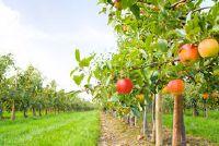 Graft union fruitboom - Achtergrondinformatie
