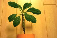 De Houseplant Euphorbia leuconeura goed te onderhouden