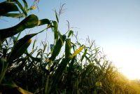 Cornflakes ongezond?  - Meer informatie over de maïs product Ontdek