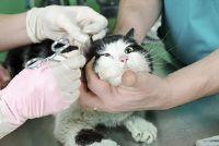 Kat heeft zweren op het hoofd - mogelijke oorzaken en behandeling