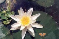 Overwinteren waterlelie (Nymphaea) - Hier is hoe