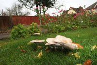 Paddestoelen in het gras gevecht met biologische agentia