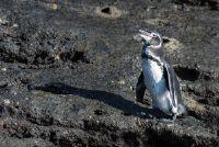 Galapagos penguin - Ontdek voor zeldzame soorten