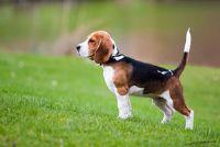 Hobby's van de Beagles - dus het zal werken met de houding