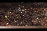 Plant peterselie - hoe het werkt