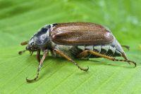 Wat tot juni bugs te eten?