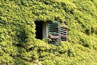 Ivy heeft bruine bladeren - wat te doen?