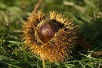 Chestnut: rassen voor uw eigen tuin - Tips voor het planten