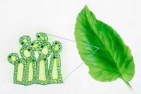 Verschillen: dieren en planten celbiologie verklaart