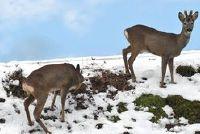 Herten in winterslaap - weten over Winter gedrag
