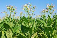 Grow tabak - zo beheert de hobby landbouw