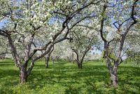 Apple voor de spijsvertering - meer over de vrucht Ontdek
