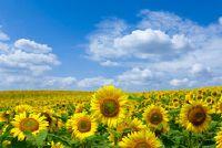 Hoe lang duurt het om zonnebloemen groeien?