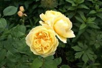 Het planten van Rose boog goed met Tor