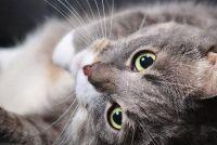 Chase cat - dus het zal werken artgerecht