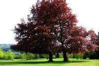Rode bomen - interessante informatie over de geslachten