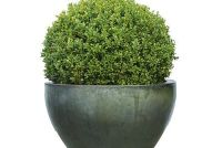 Buxus heeft bruine bladeren - oorzaken en oplossingen