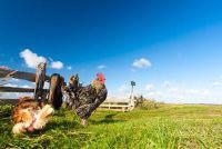 Vlooien in het kippenhok - wat te doen?