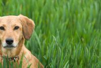 Vecht gras mijten bij honden effectief