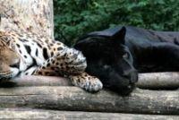 Wilde kat soorten - zodat u verschillende roofdieren onderscheiden