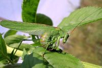 Grasshoppers voeden met planten - die je kunt doen