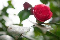 Camellia heeft bruine bladeren - zodat u ze goed te onderhouden