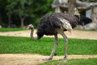 Struisvogel boerderijen in Duitsland - Overzicht