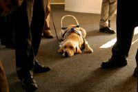 Blindengeleidehonden - trainers zijn