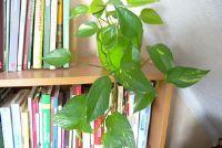 Kamerplanten voor de noord-venster - enkele tips