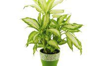 Dieffenbachia - zodat u de kamerplant behouden