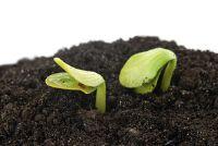 Dicotyledons - Feiten over de ontwikkeling
