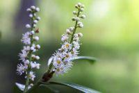 Cherry laurier heeft bruine bladeren - Oorzaken & Behandeling