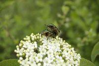 Het maken van vlierbessen schnaps zichzelf - recepten voor zelfgemaakte likeuren