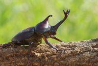 Rhinoceros beetle - interessante informatie over het dier