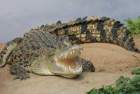 Wat eet krokodillen?