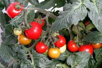 Zwarte vlieg op tomaten - wat te doen?