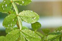 Voorkom kleine witte vliegen op de planten