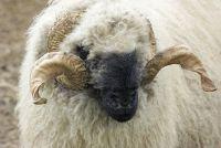 Valais zwart-nosed schapen buy - Mededelingen