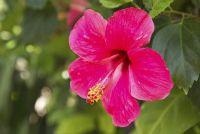 Hibiscus heeft gele bladeren - wat te doen?