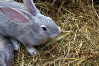Compileren Grain Gratis konijn voedsel zelf - hoe het werkt
