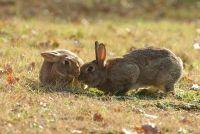 Wild konijn in de tuin - die u moet zich bewust zijn