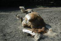 De darm van het paard - de bouw en de mogelijke Kolikursachen