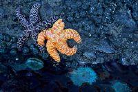 Starfish - Body