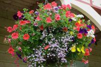 Bescherm balkon planten in het voorjaar voordat de vorst